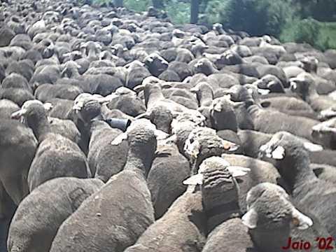 Mi ovejita lucera.